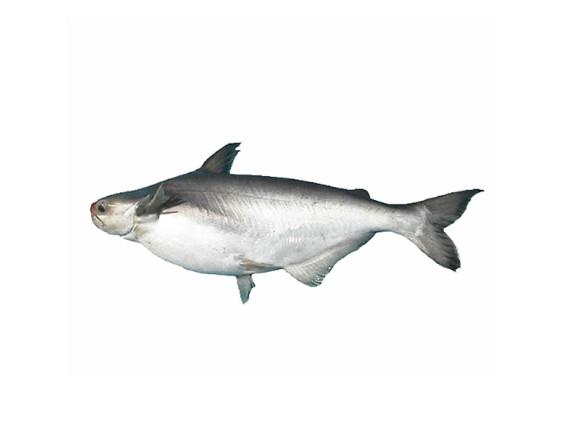 Cá Hú Nguyên Con Không Làm Sẵn (Kg) Giá bán theo kg~1.1Kg/Con