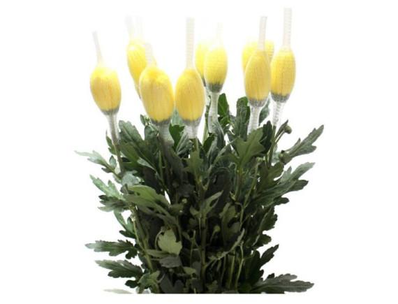 Hoa Cúc Đơn Bó