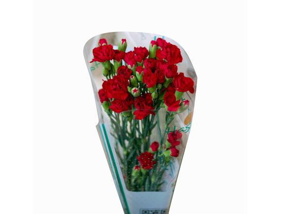 Hoa Cẩm Chướng Nhánh