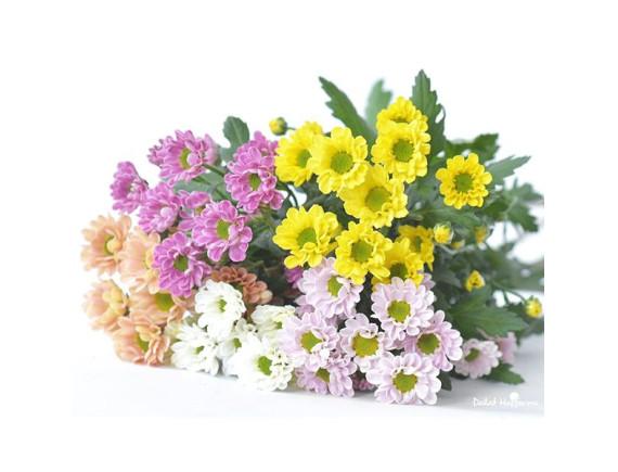 Hoa Cúc Rossi Bó Nhiều Màu